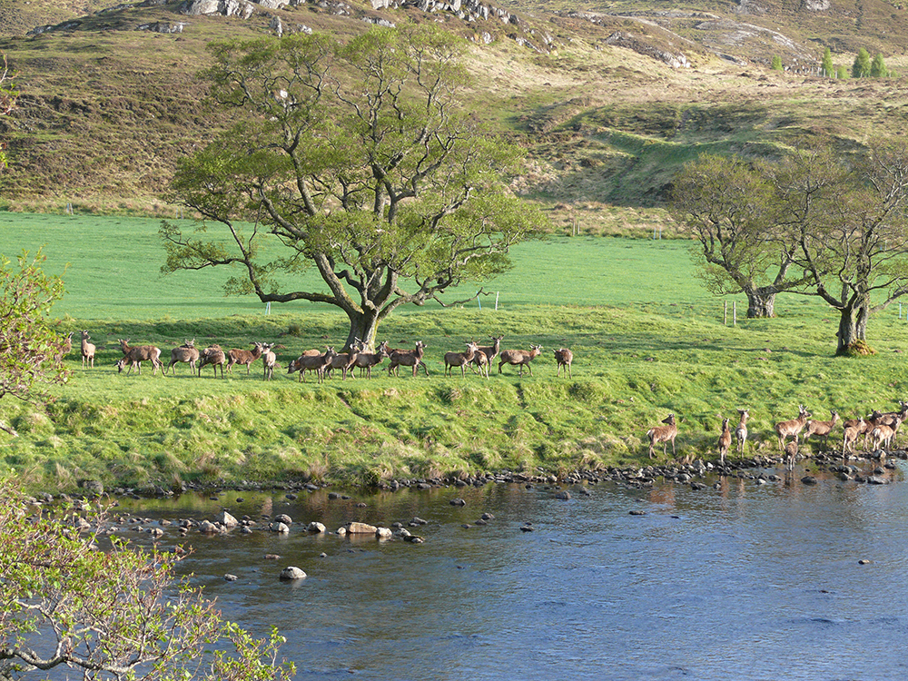 Deer by the river