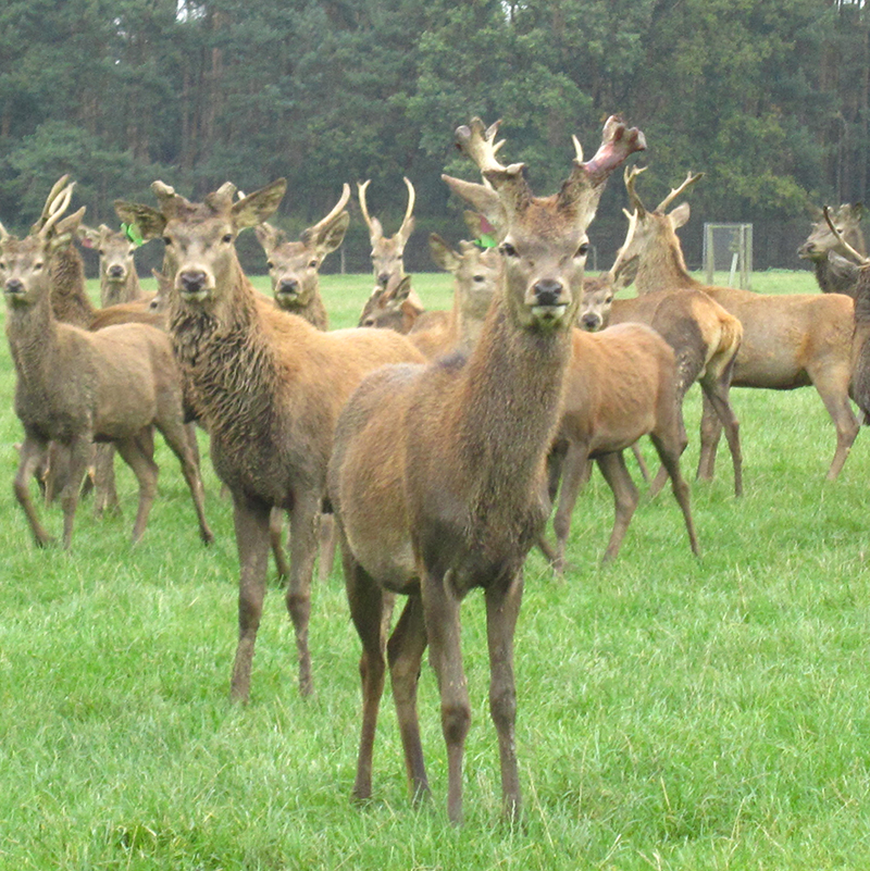 Can the UK venison market keep up with the growing demand?