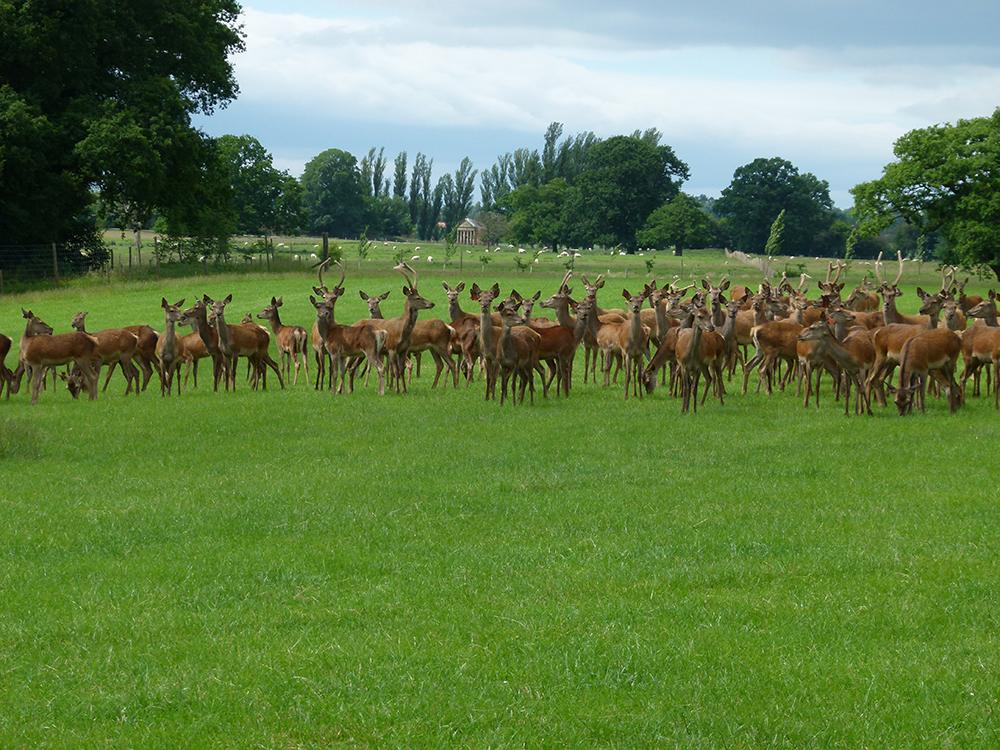 Deer at Low Farm 4