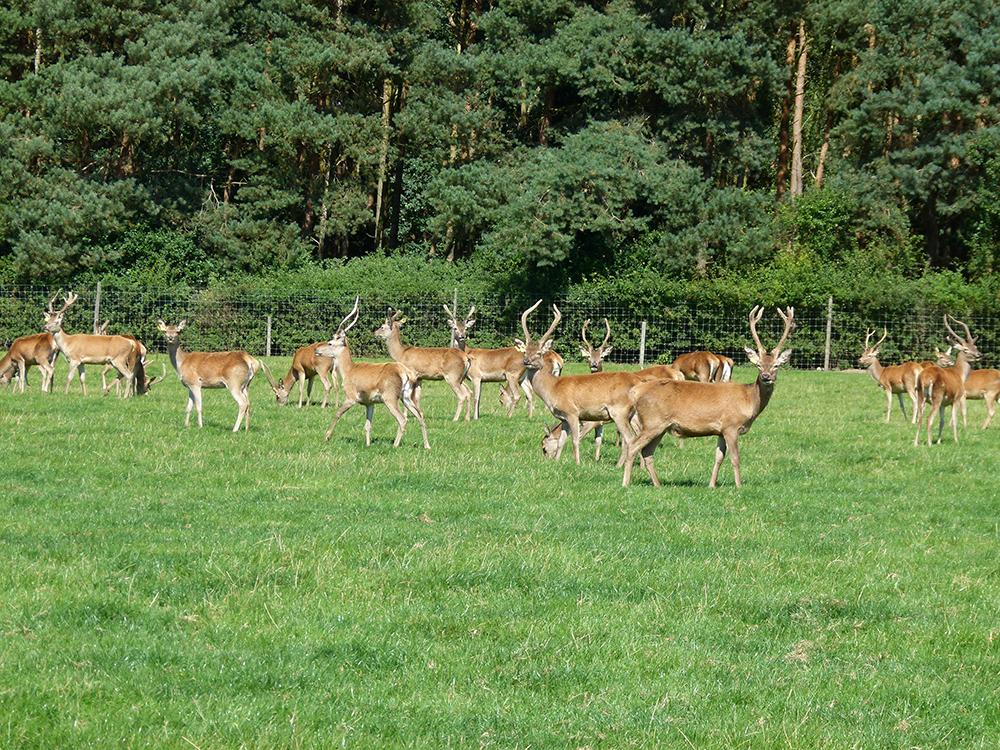 Deer at Low Farm 13