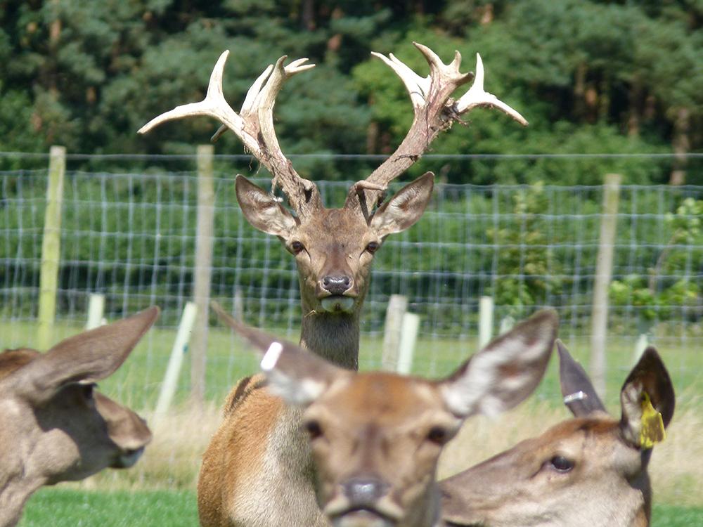 Deer at Low Farm 10