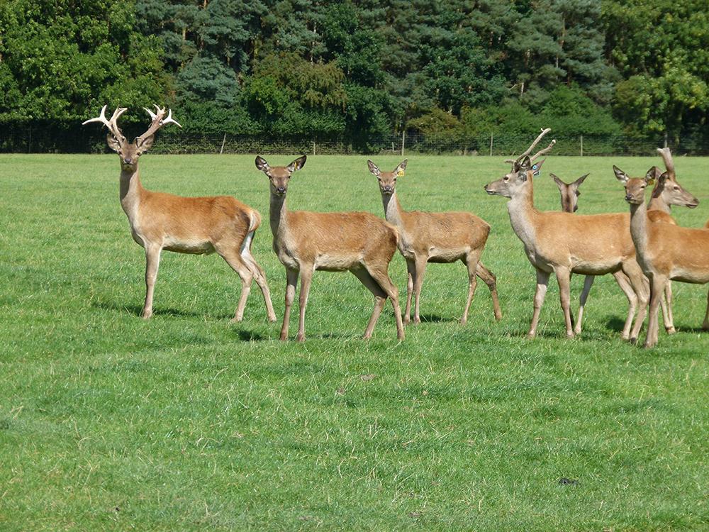Deer at Low Farm 9