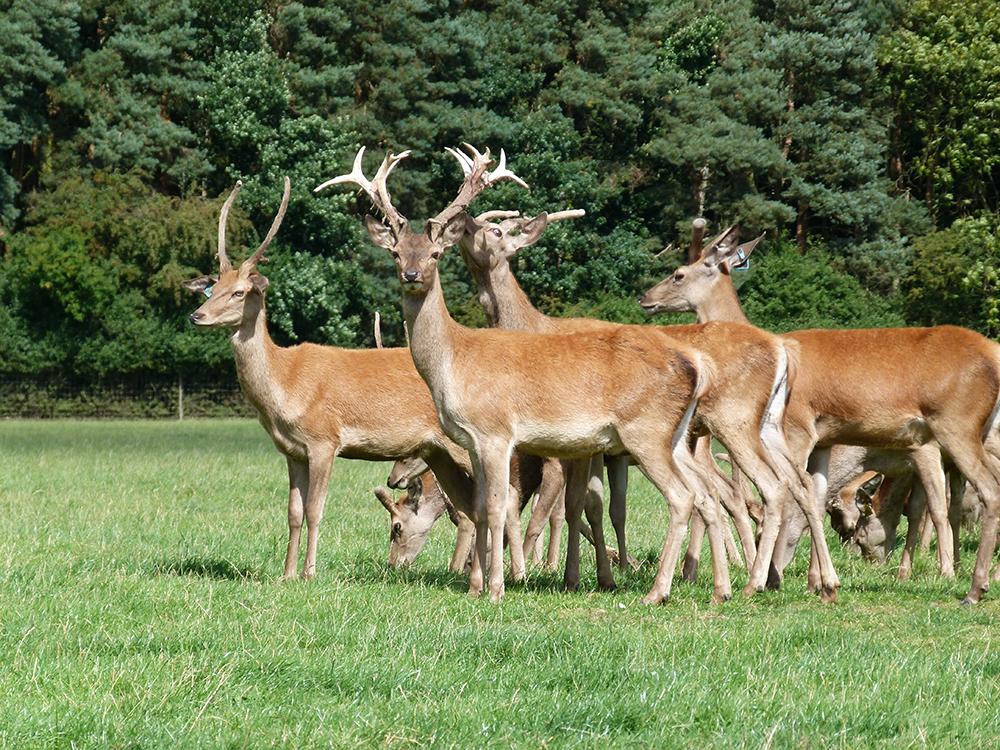 Deer at Low Farm 7